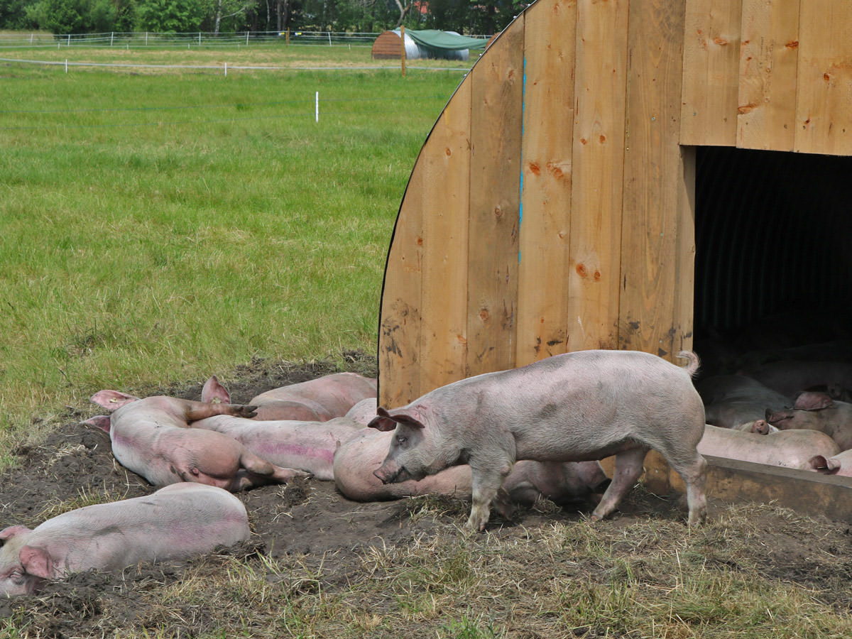 Klettwitzer Freilandschweine